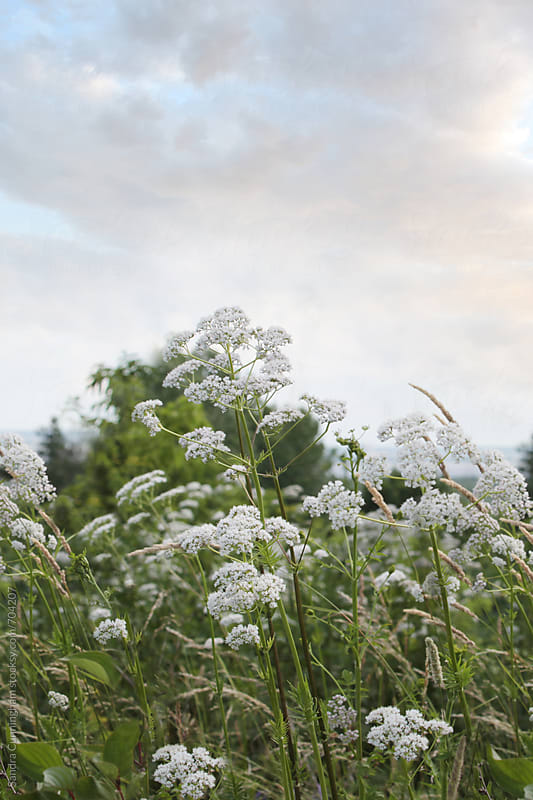 White flowers against a sunset sky by Sandra Cunningham for Stocksy United