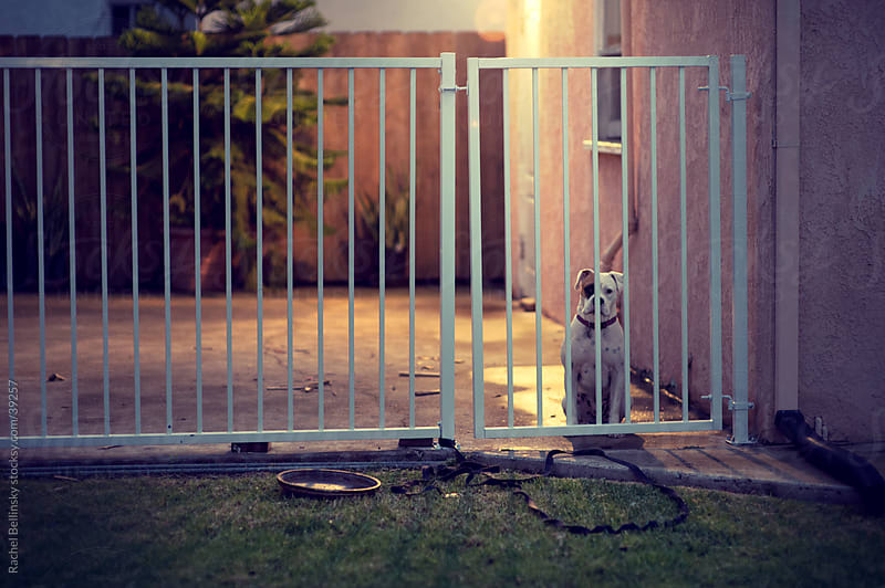 A lonesome boxer dog stares out from a gated yard at night by Rachel Bellinsky for Stocksy United