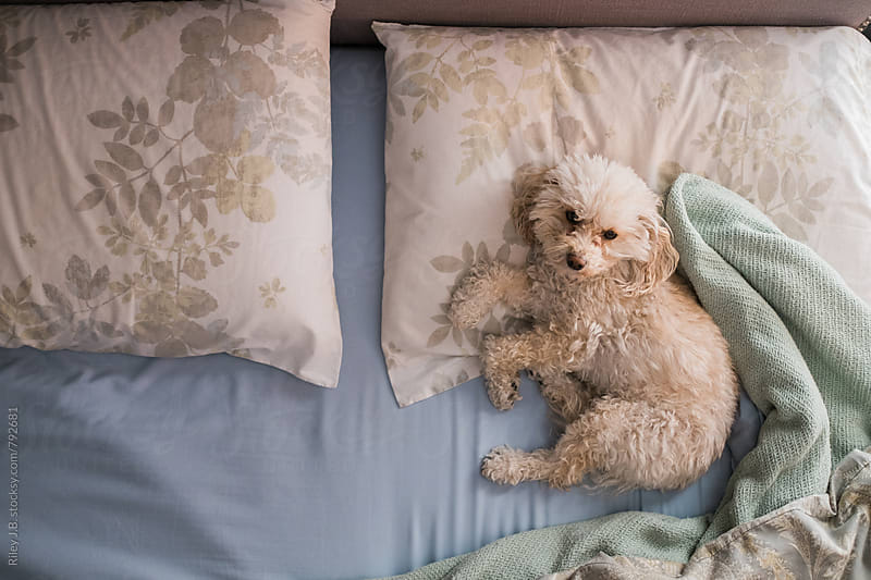 A cute small puppy laying in a bed. by Riley J.B. for Stocksy United