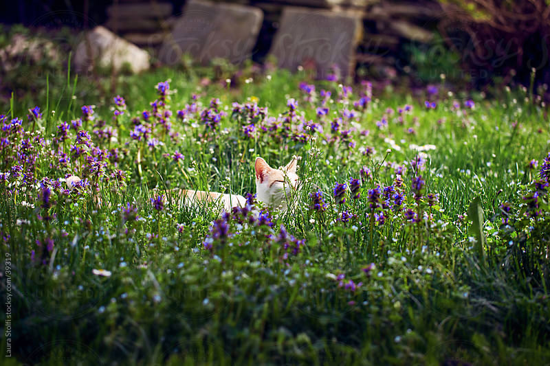 Domestic cat sitting in lawn amongst glass blades and purple flowers enjoying the sunlight by Laura Stolfi for Stocksy United