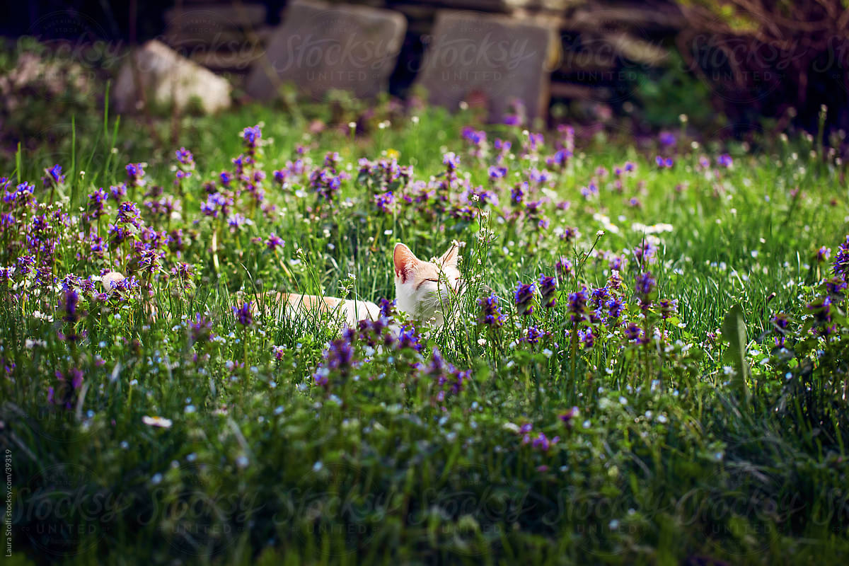 Domestic Cat Sitting In Lawn Amongst Glass Blades And Purple Flowers