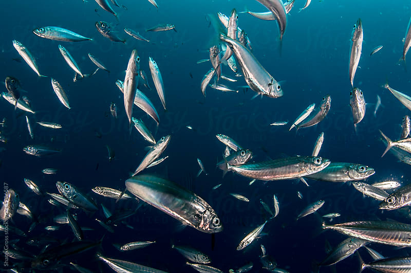School of Mackerel Scad Fish by Shane Gross for Stocksy United