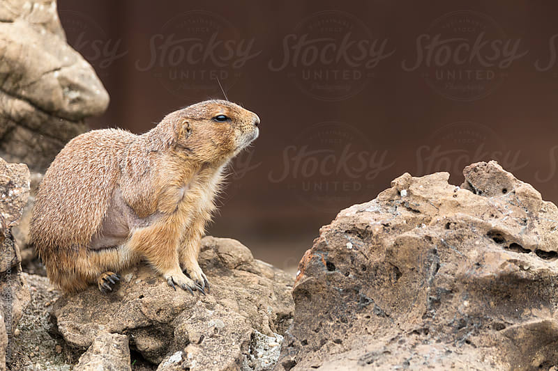Prairie Dog by Marilar Irastorza for Stocksy United