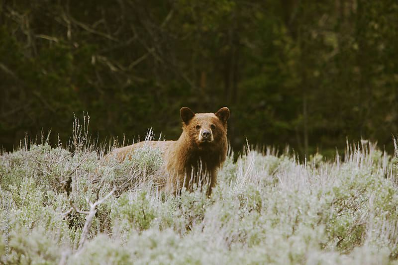 Cinnamon Black Bear by Kevin Russ for Stocksy United