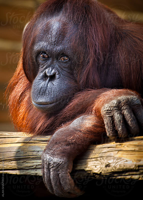 orangutan up close  by alan shapiro for Stocksy United