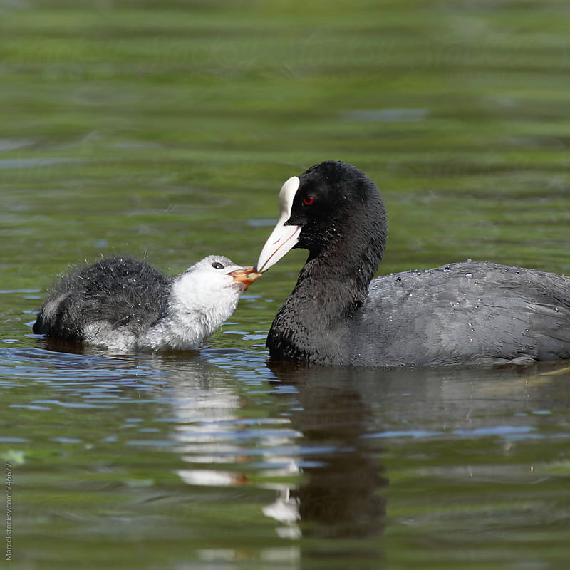 Coot feeding a young by Marcel for Stocksy United