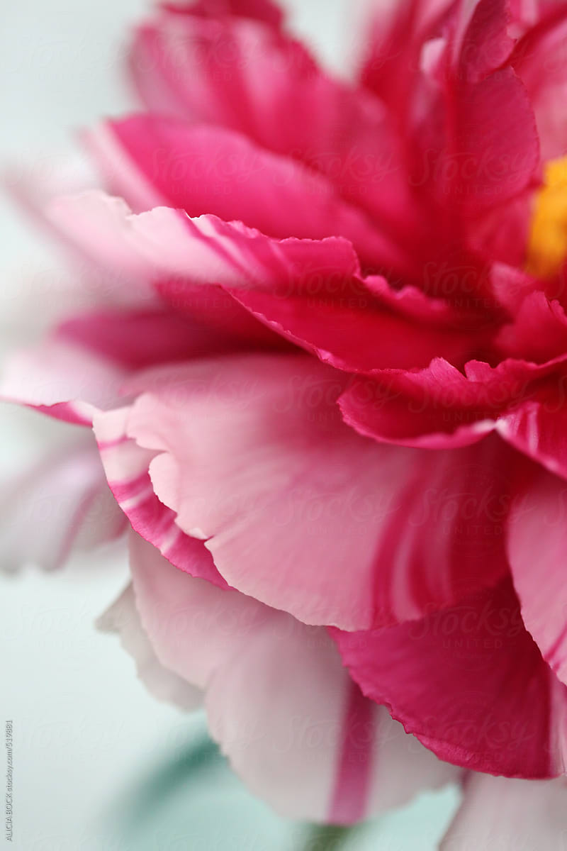 Close Up Of A Pink Peony Flower Stocksy United