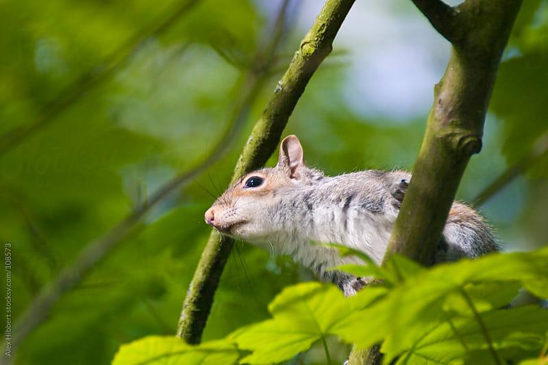 Grey Squirrel by Alex Hibbert for Stocksy United