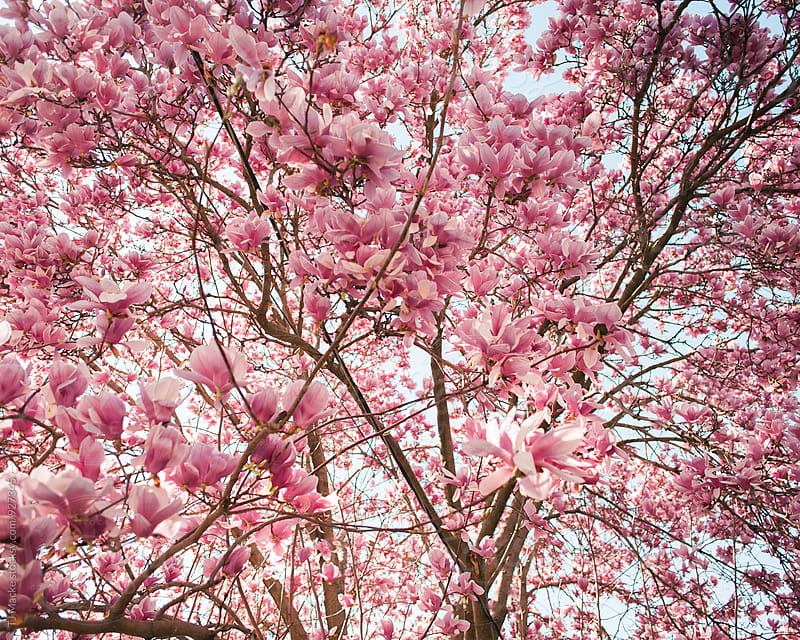 Tree in bloom with pink blossoms by TJ Macke for Stocksy United
