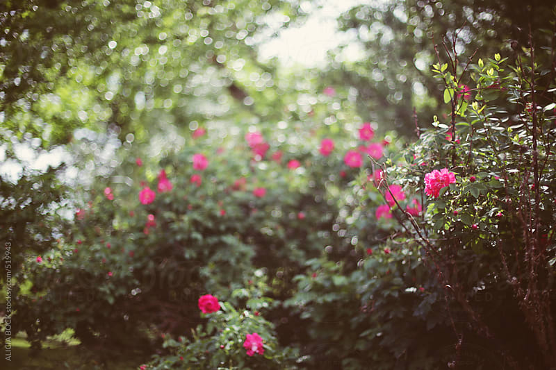 Vibrant Magenta Roses Blooming On A Summer Afternoon by ALICIA BOCK for Stocksy United