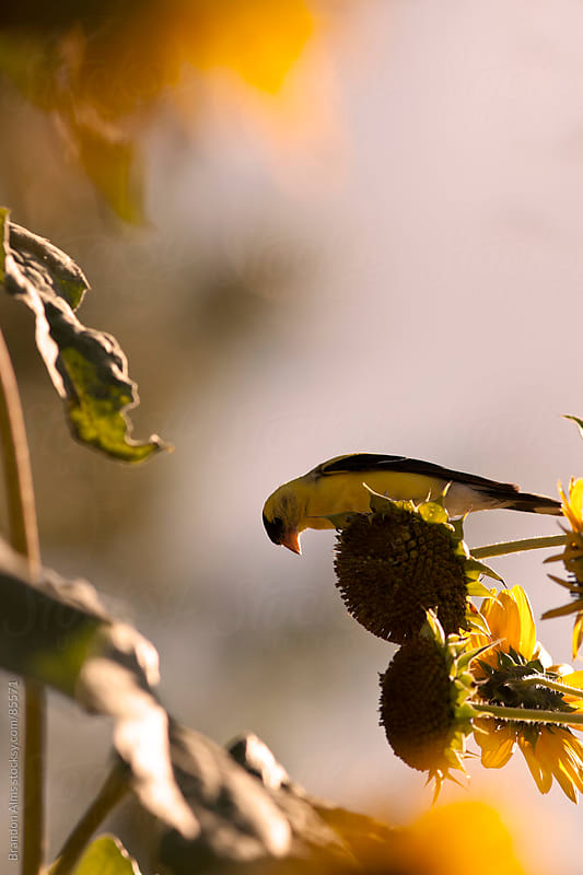 Wild Canary Bird Eating Seeds From Sunflowers by Brandon Alms for Stocksy United