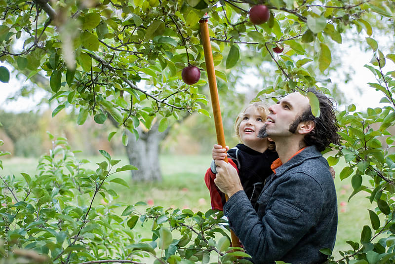 Father picks apples from a tree in an orchard with his young son by Cara Dolan for Stocksy United
