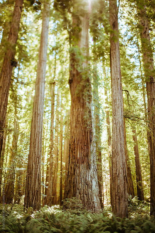 The Redwoods by Evan Dalen for Stocksy United