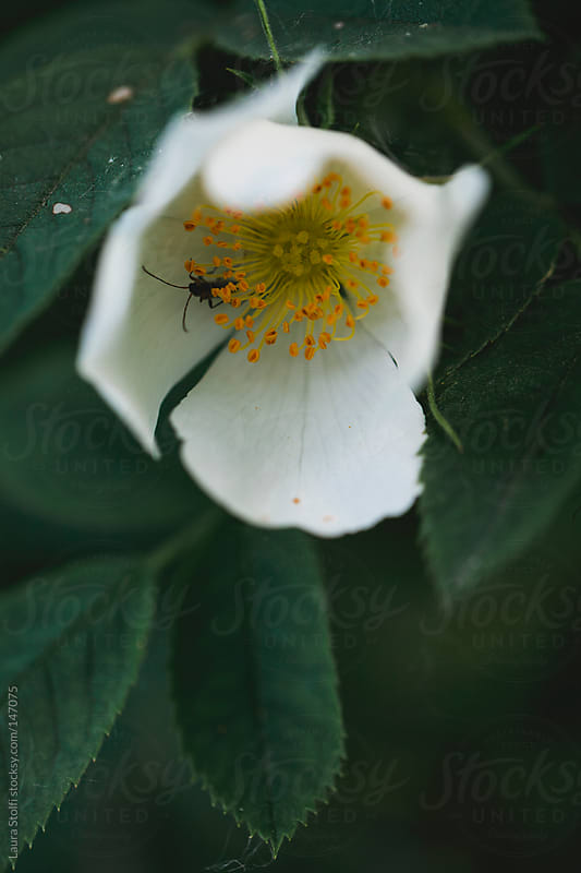 Insect inside dog rose flower head by Laura Stolfi for Stocksy United