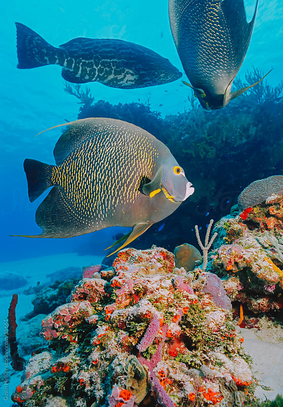Angelfish (Holacanthus ciliaris), Cozumel, Mexico, Caribbean, North America by Gavin Hellier for Stocksy United