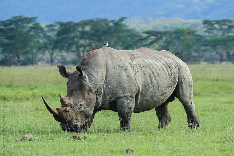 Rhino by Gabriel Ozon for Stocksy United