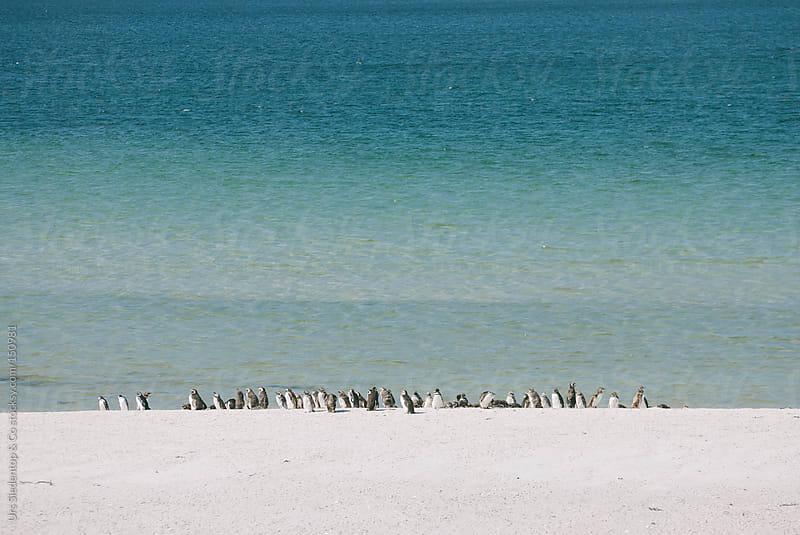 Humboldt Penguin  by Urs Siedentop & Co for Stocksy United