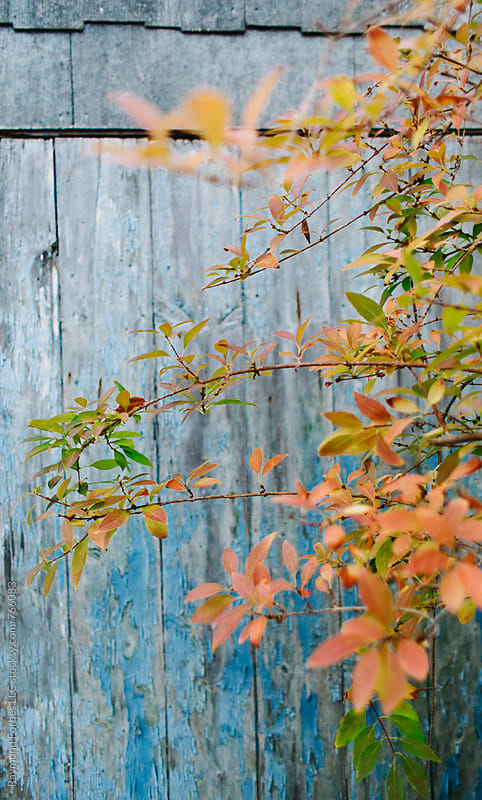 Autumn Leaves on Blue Barn Door by Raymond Forbes LLC for Stocksy United