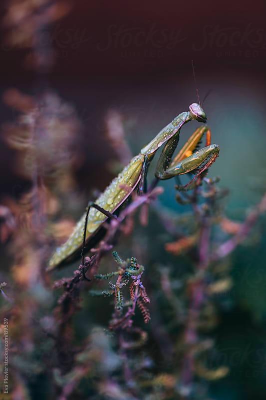 Praying Mantis in the garden by Eva Plevier for Stocksy United
