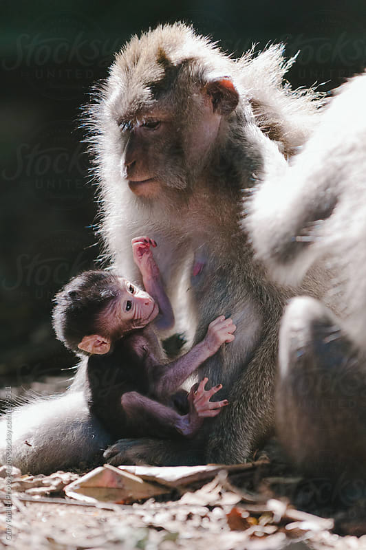 Baby long-tailed macaque holding its Mother by Gary Radler Photography for Stocksy United