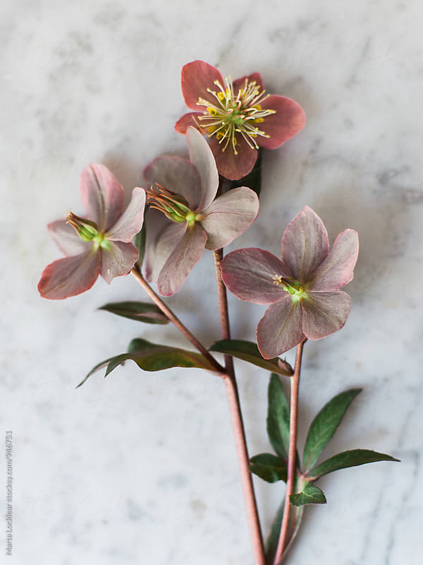 Hellebores flower on marble by Marta Locklear for Stocksy United