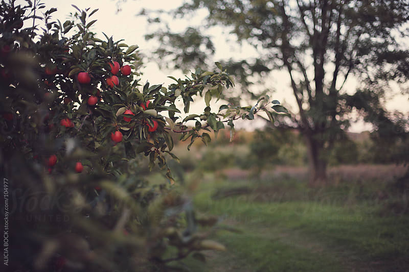 Red Apples In the Orchard #1 by ALICIA BOCK for Stocksy United