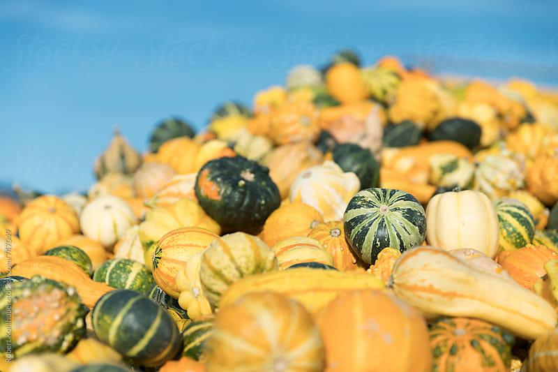 Big pile of pumpkins by Robert Kohlhuber for Stocksy United