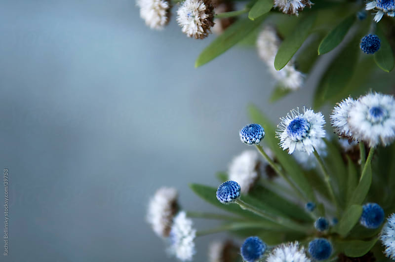 Blue and white blossoms on green branches against pale blue backdrop by Rachel Bellinsky for Stocksy United