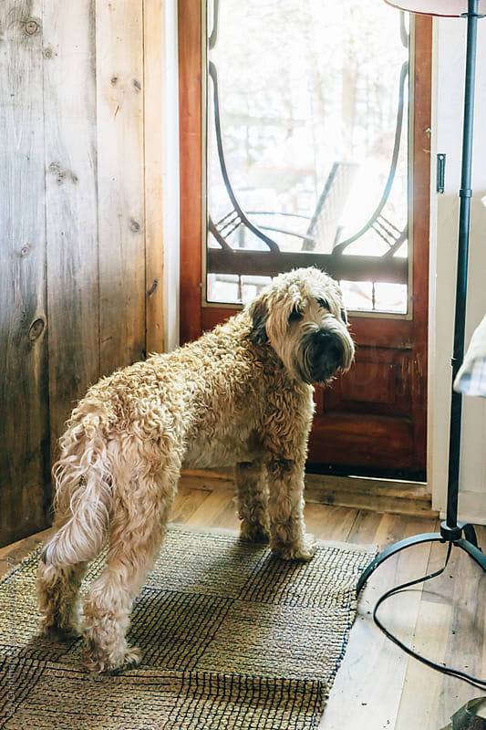 Soft coated wheaten terrier dog asks to go outside at the cottag by Jen Grantham for Stocksy United