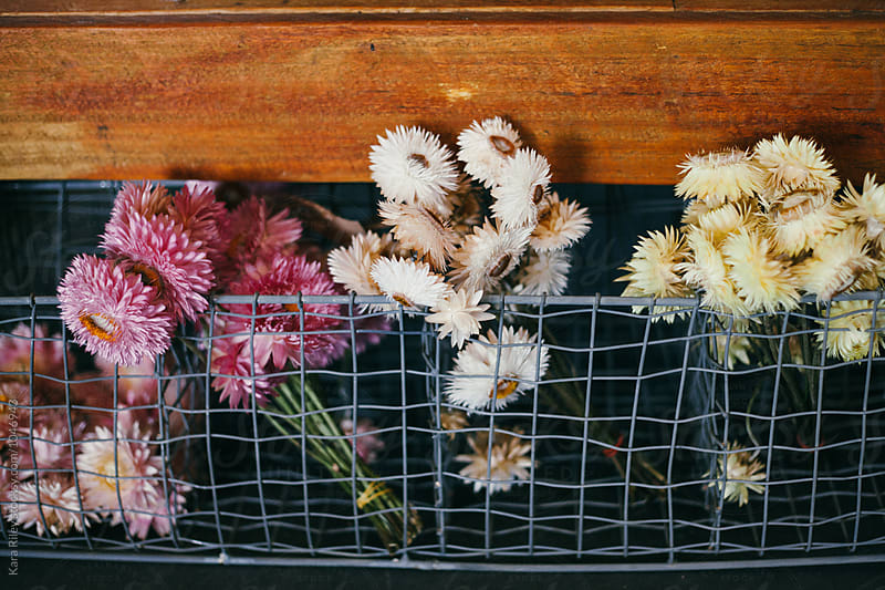 Dried Paper Daisies in wire basket by Kara Riley for Stocksy United