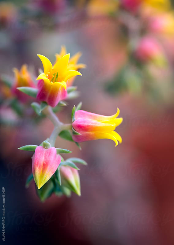 Echeveria trying to wake up by alan shapiro for Stocksy United
