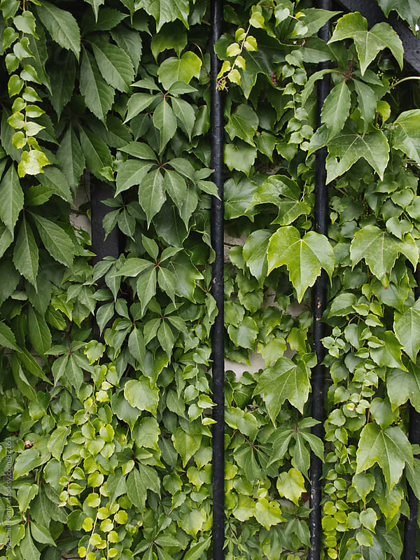 Green leafy wall with black metal rods by Melanie Kintz for Stocksy United