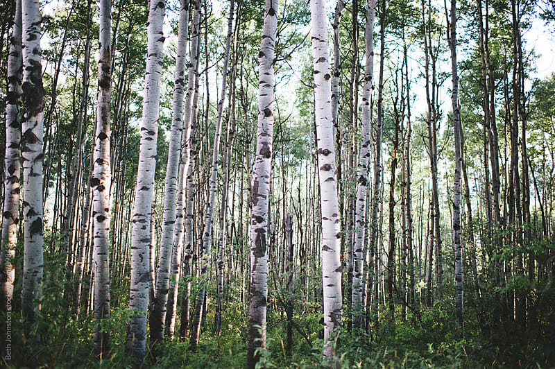 Aspens by Beth Grimes for Stocksy United