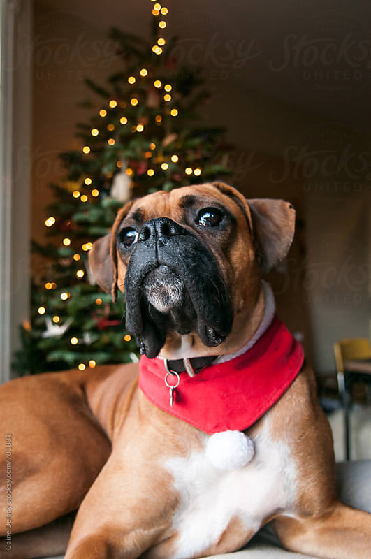Pure bred boxer in a window with xmas tree behind by Caine Delacy for Stocksy United