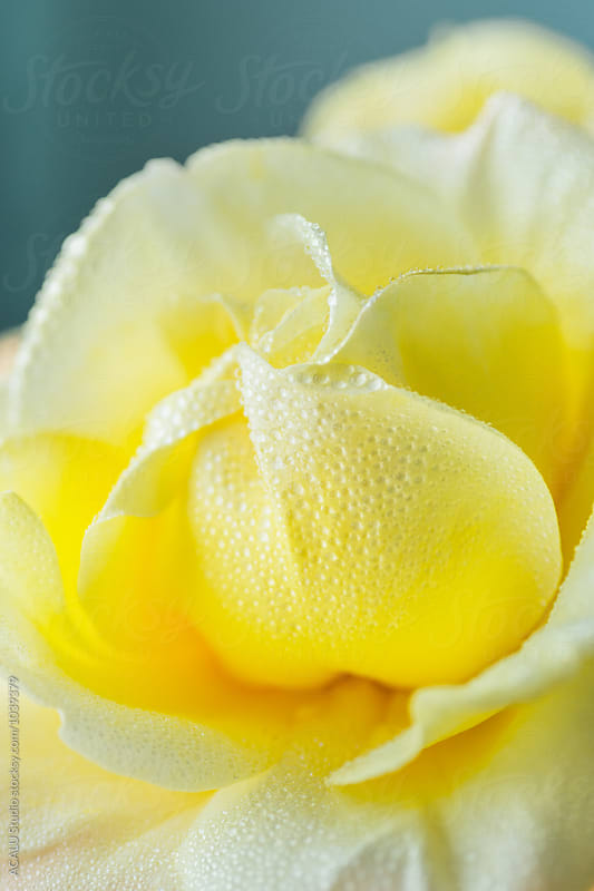 Detail of a yellow rose by ACALU Studio for Stocksy United