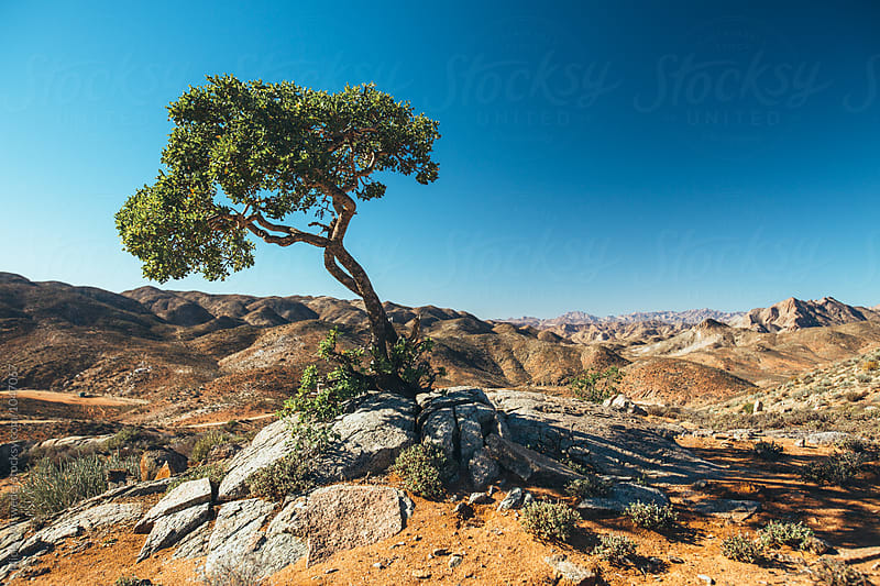 lone tree in a scenic desert wilderness by Micky Wiswedel for Stocksy United