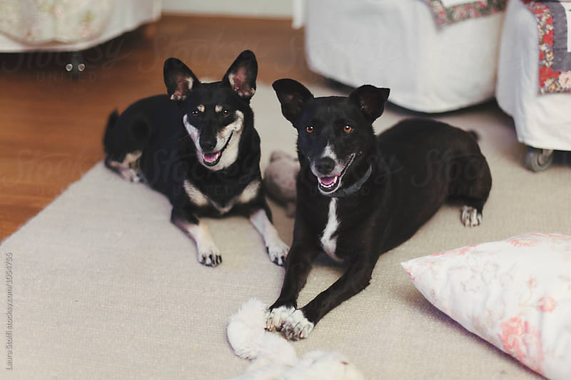 Two dogs lay one close to the other on carpet with toys by Laura Stolfi for Stocksy United