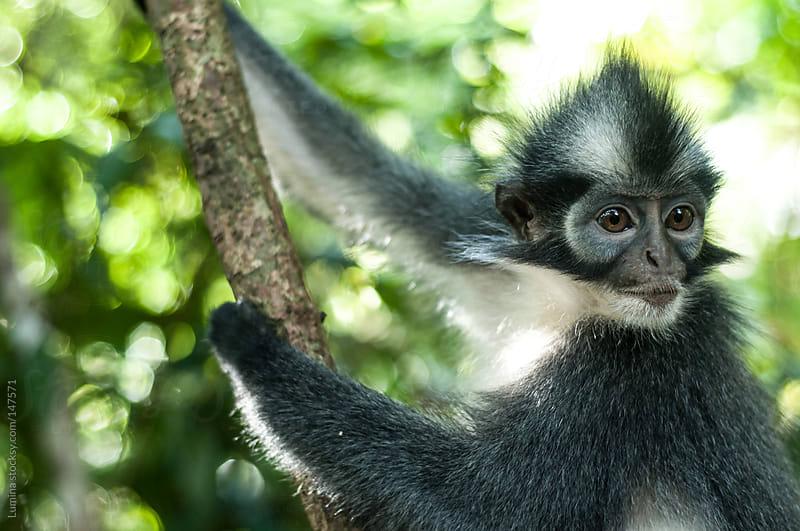Langur Monkey by Lumina for Stocksy United