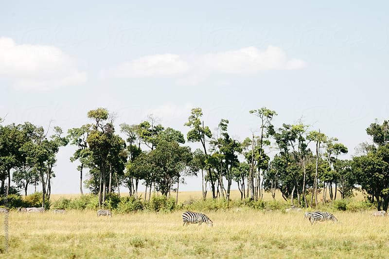 Zebras by Agencia for Stocksy United