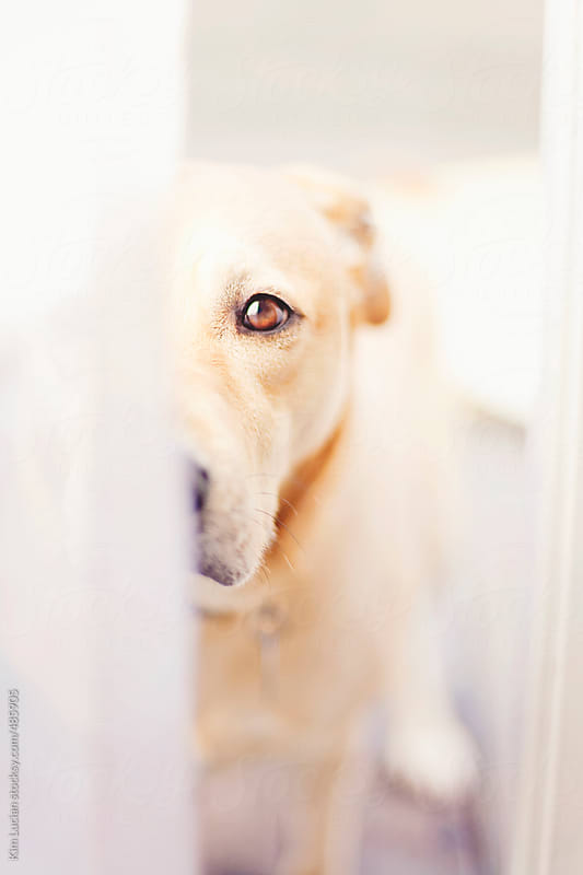 Dog Looking Through Doorway by Kim Lucian for Stocksy United