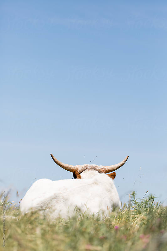 Longhorn cow  by Amy Covington for Stocksy United