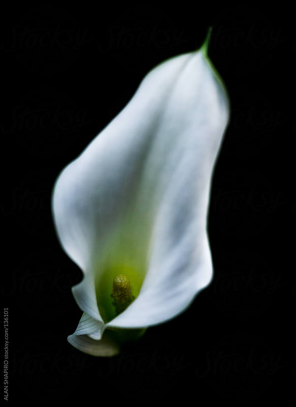 Peace Lily on black by alan shapiro for Stocksy United
