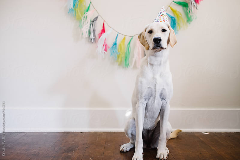 White dog celebrating birthday by Kristine Weilert for Stocksy United