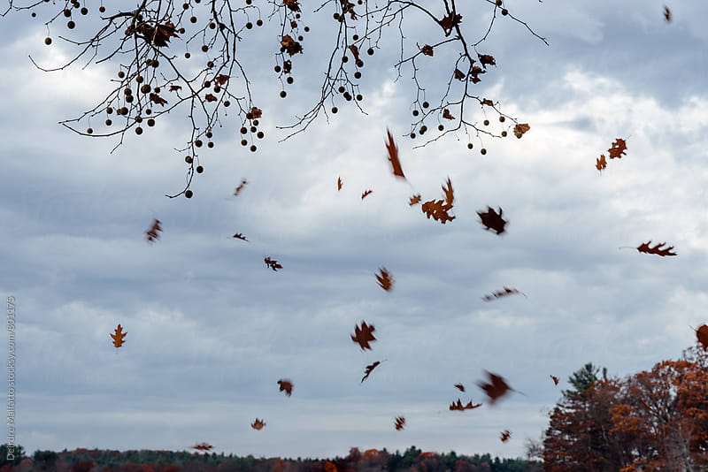 oak leaves falling in autumn by Deirdre Malfatto for Stocksy United