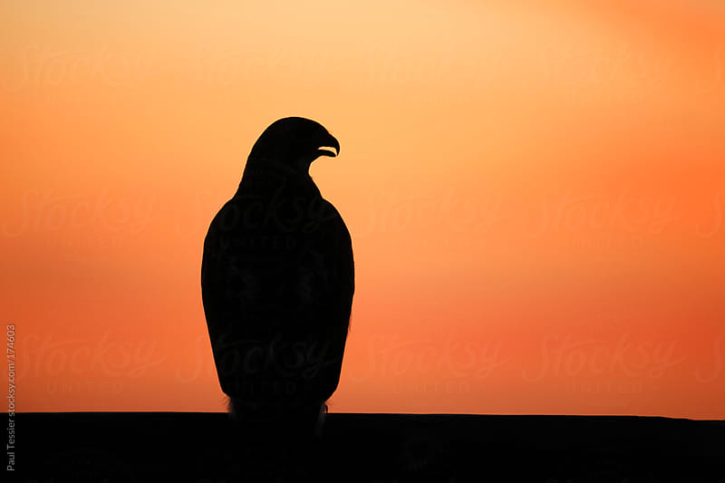 Red-tailed Hawk in Silhouette by Paul Tessier for Stocksy United