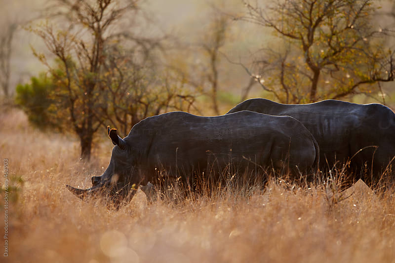 candid Rhino by Daxiao Productions for Stocksy United