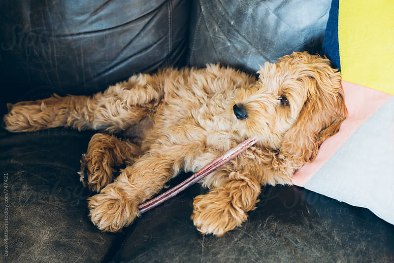 Pet Labradoodle Puppy Relaxing On Couch And Chewing On Treat by Luke Mattson for Stocksy United