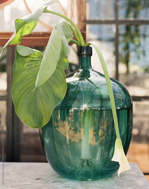 greenhouse plant  by Vicki Grafton Photography for Stocksy United