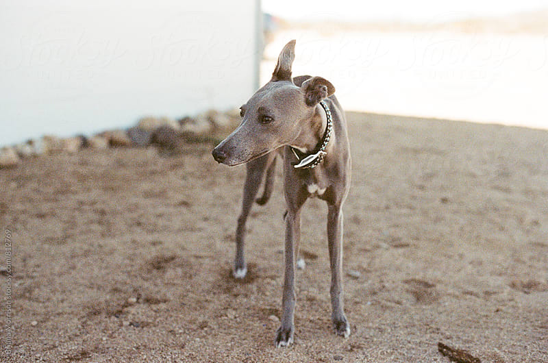 Grey Whippet standing outside in the dirt by Briana Morrison for Stocksy United
