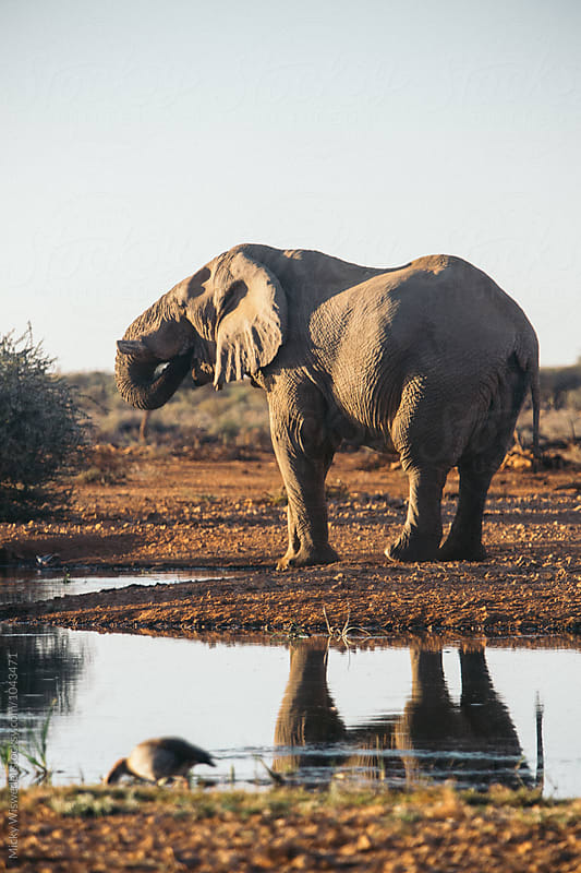 Elephant at a watering hole at sunset by Micky Wiswedel for Stocksy United